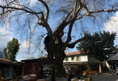 Tarihi çınar ağacı, yöre ekonomisine katkı sağlıyor