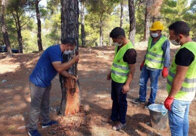Reçine orman köylüsünün yeni iş kapısı oldu! Kilosu 700 TL'ye satılıyor