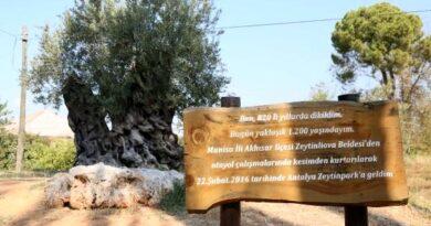 Dünyada yaşayan herkesten büyük! 1204 yaşındaki zeytin ağacı meyve vermeye devam ediyor