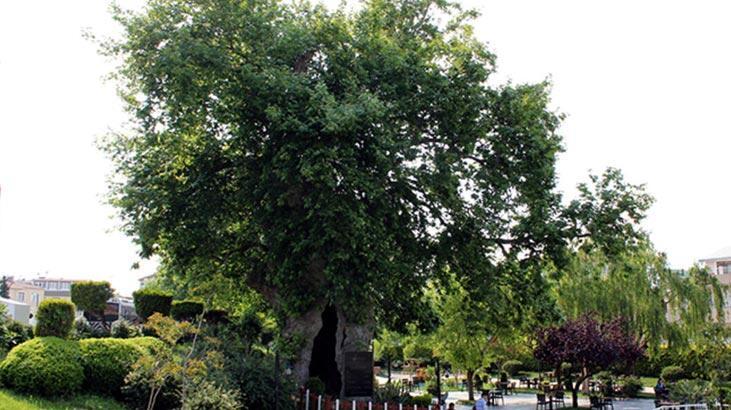 Her Hafta Bir Ağaç – Çınar Ağacı