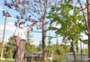 Kahramanmaraş'ta dünyanın en hızlı büyüyen ağacı