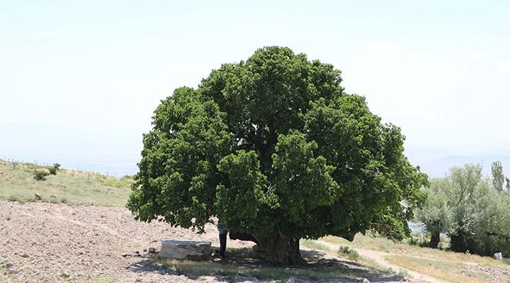 Dut ağacı hakkında bilmeniz gerekenler